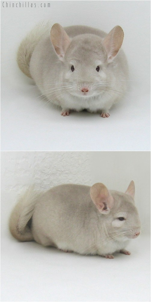 8129 Large Herd Improvement Quality Homo Beige Male Chinchilla