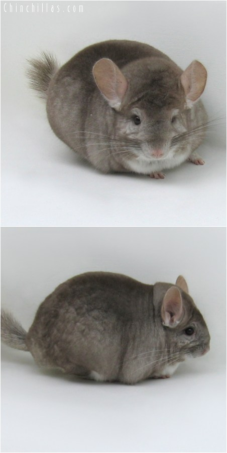8134 Extra Large Show Quality Beige Male Chinchilla