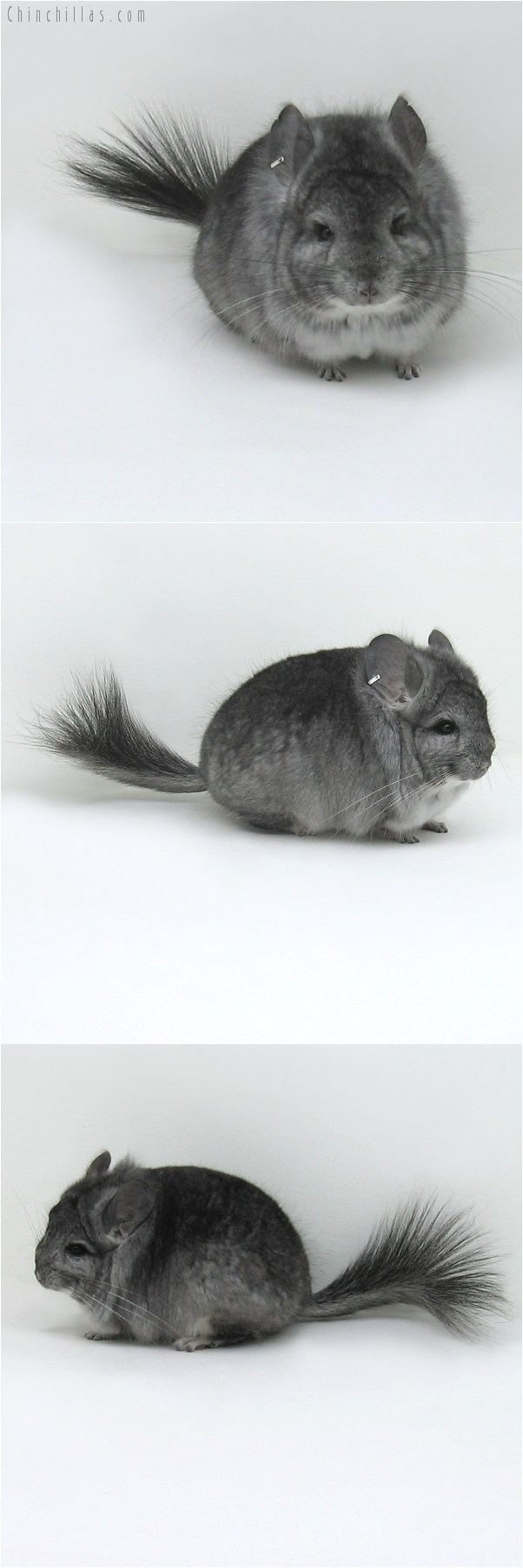 8135 Standard Royal Persian Angora Male Chinchilla
