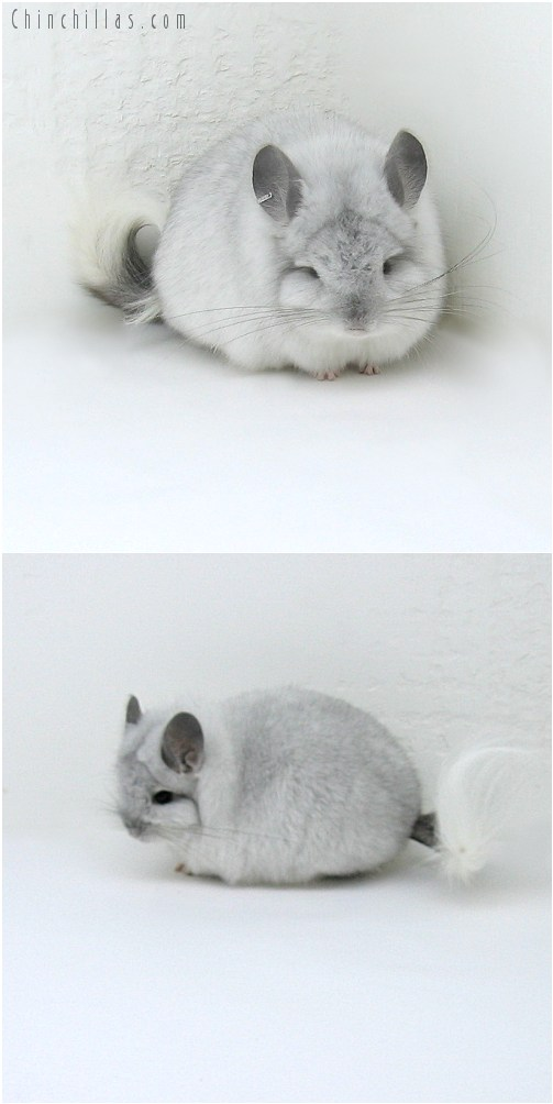 8139 Exceptional Quality White Mosaic Royal Persian Angora Male Chinchilla