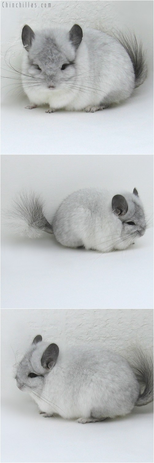 8137 White Mosaic Royal Persian Angora Male Chinchilla