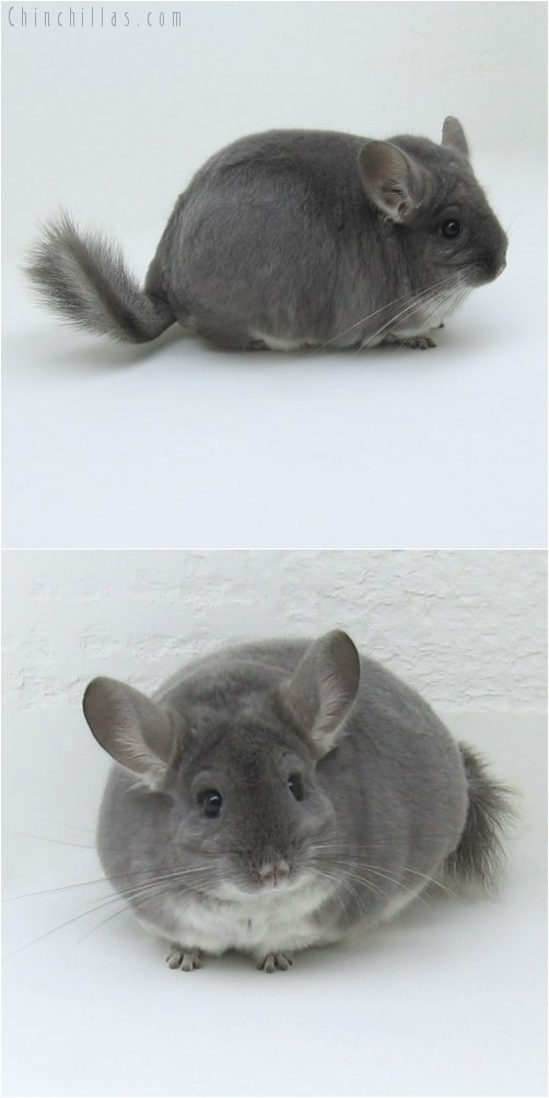 8127 Extra Large TOV Violet Female Chinchilla