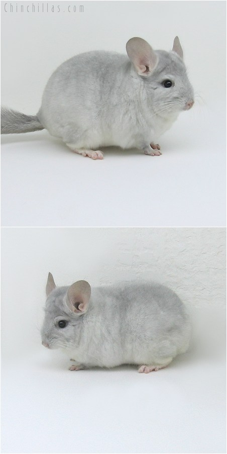 8146 Show Quality Sapphire & White Male Chinchilla