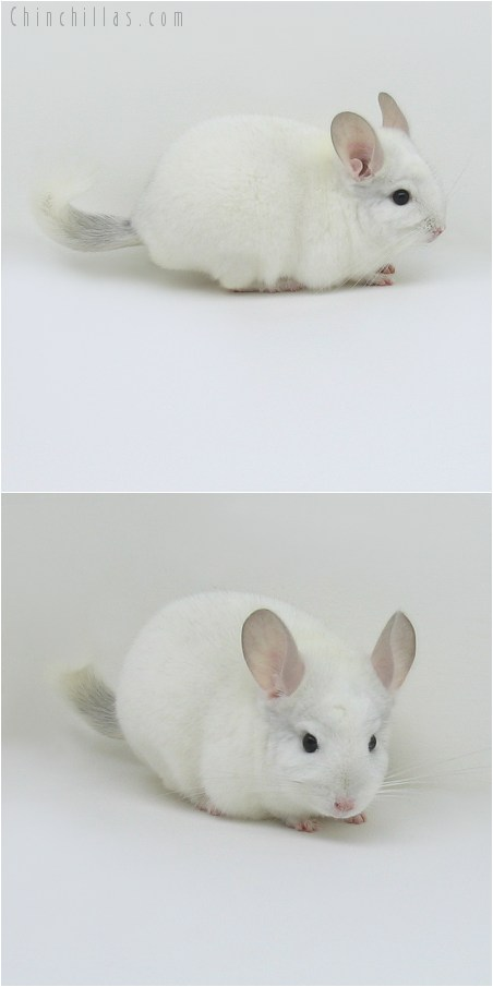 8147 Show Quality Sapphire & White Male Chinchilla