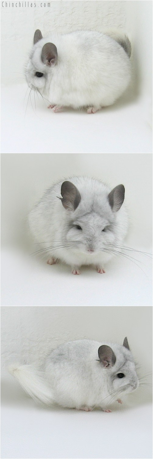 8152 White Mosaic Royal Persian Angora Male Chinchilla