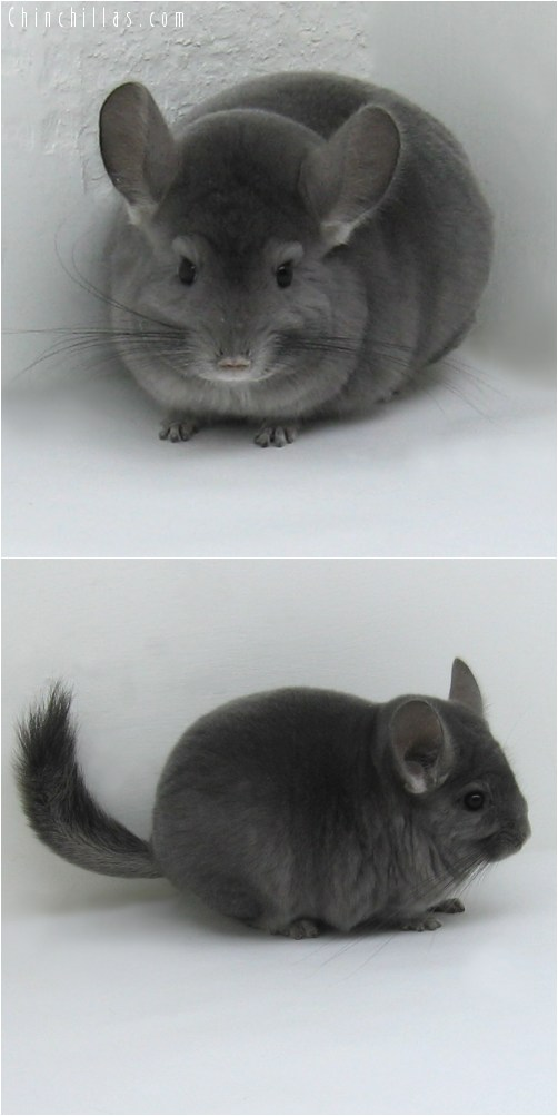 8075 Show Quality Violet ( Ebony Carrier ) Female Chinchilla