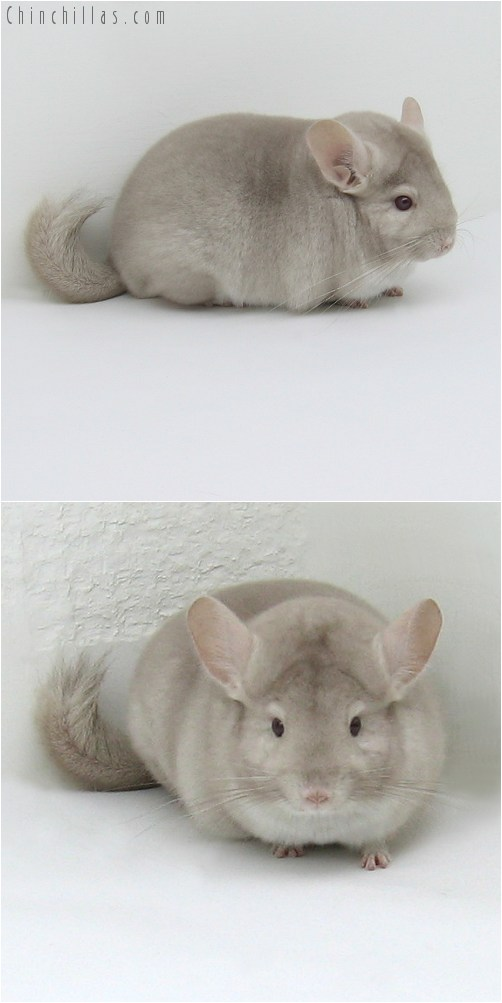 8080 Premium Production Quality Homo Beige Female Chinchilla