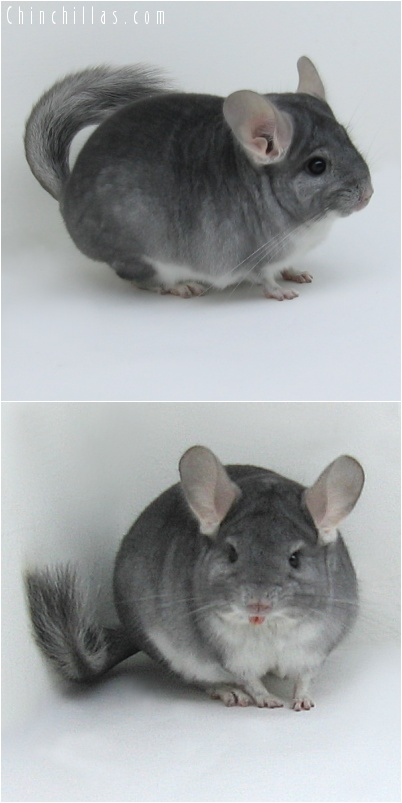 8040 Top Show Quality Sapphire Male Chinchilla