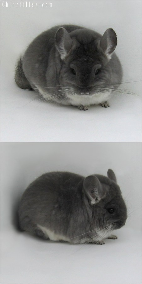 8161 Extra Large Premium Production Quality TOV Violet Female Chinchilla