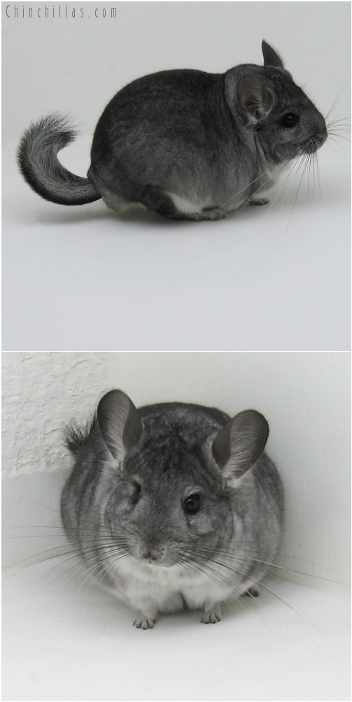 9070 Large Show Quality Standard ( Violet Carrier ) Male Chinchilla