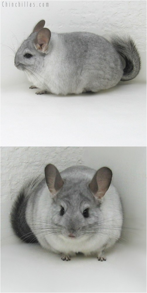 9091 Show Quality Silver Mosaic ( Sapphire Carrier ) Female Chinchilla