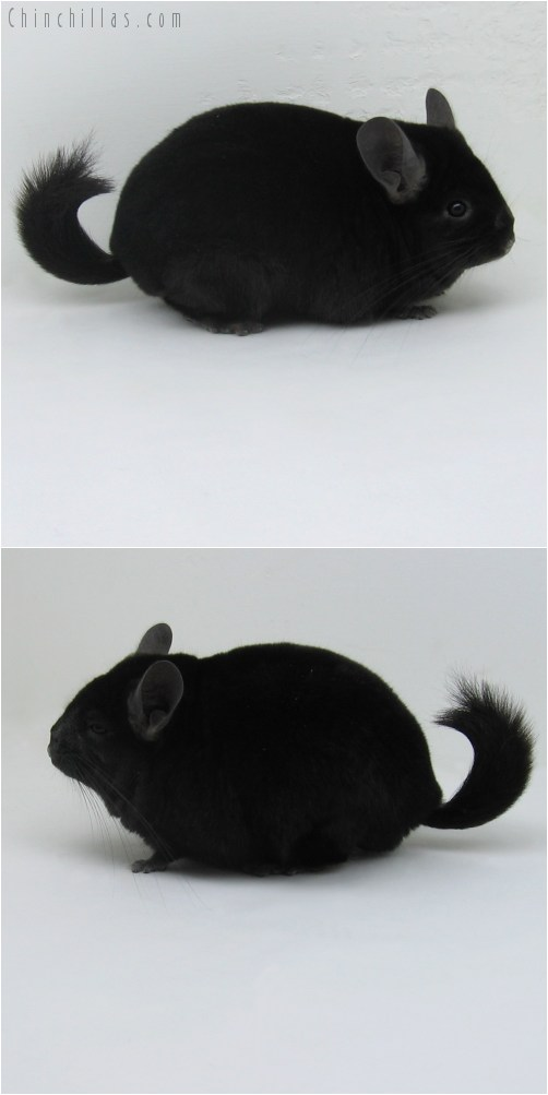 9097 Show Quality Ebony ( Sapphire Carrier ) Male Chinchilla