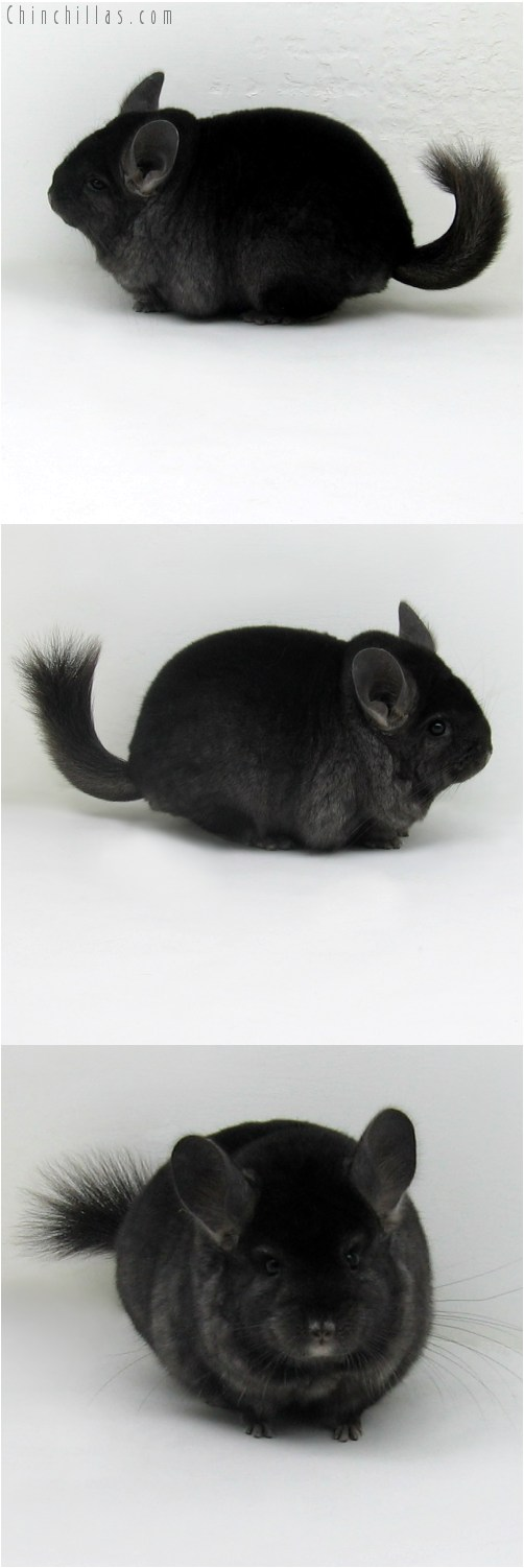 9107 Premium Production Quality Ebony Female Chinchilla