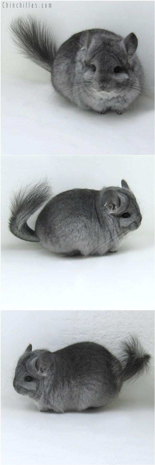 9092 Standard Royal Persian Angora Female Chinchilla