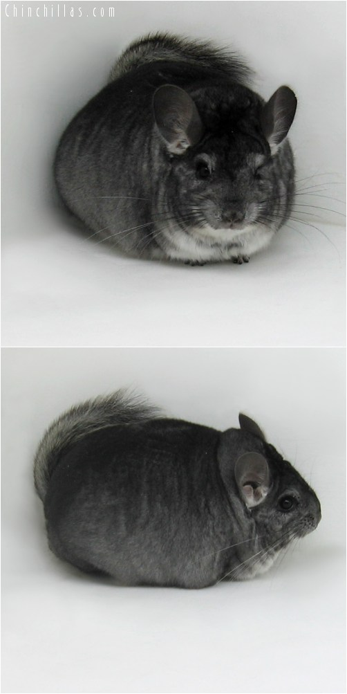 9110 Extra Large Herd Improvement Quality Standard Male Chinchilla