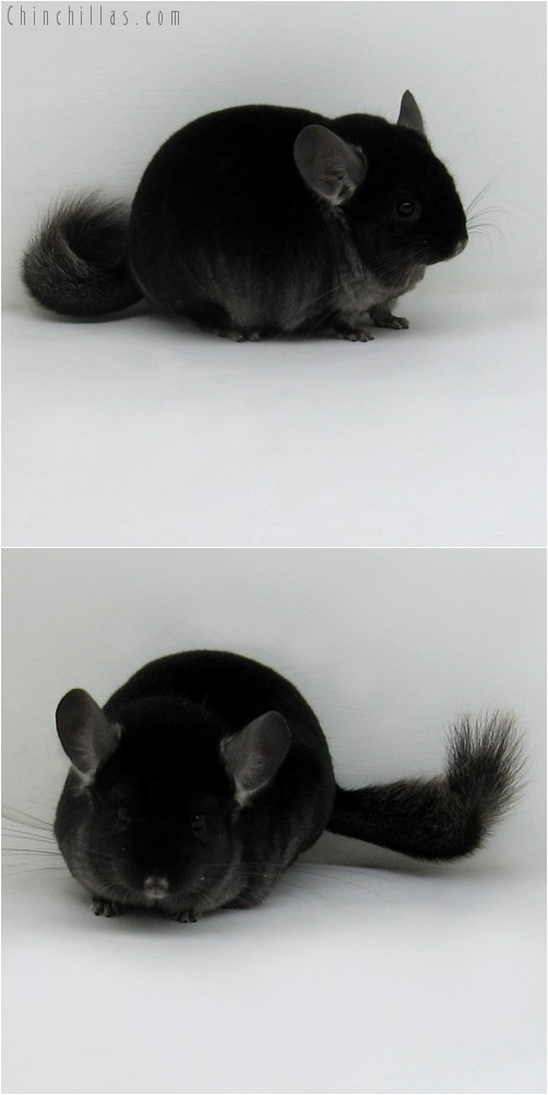 9062 Extra Large Show Quality TOV Ebony Male Chinchilla
