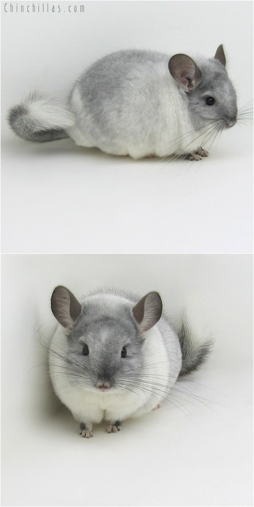 9089 Large Herd Improvement Quality TOV White ( Possible Violet Carrier ) Male Chinchilla