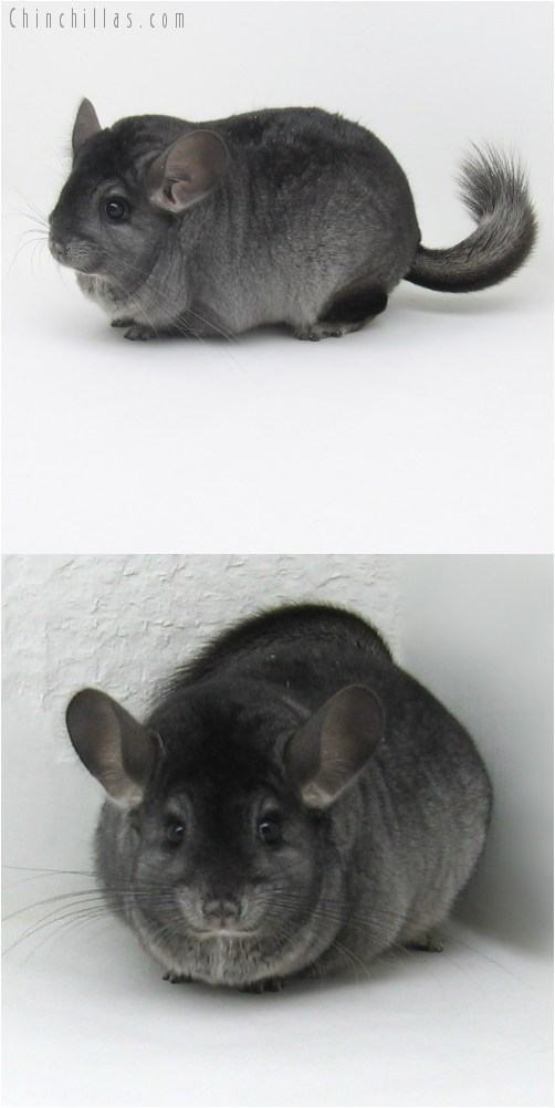 9108 Large Show Quality Ebony ( Violet Carrier ) Female Chinchilla