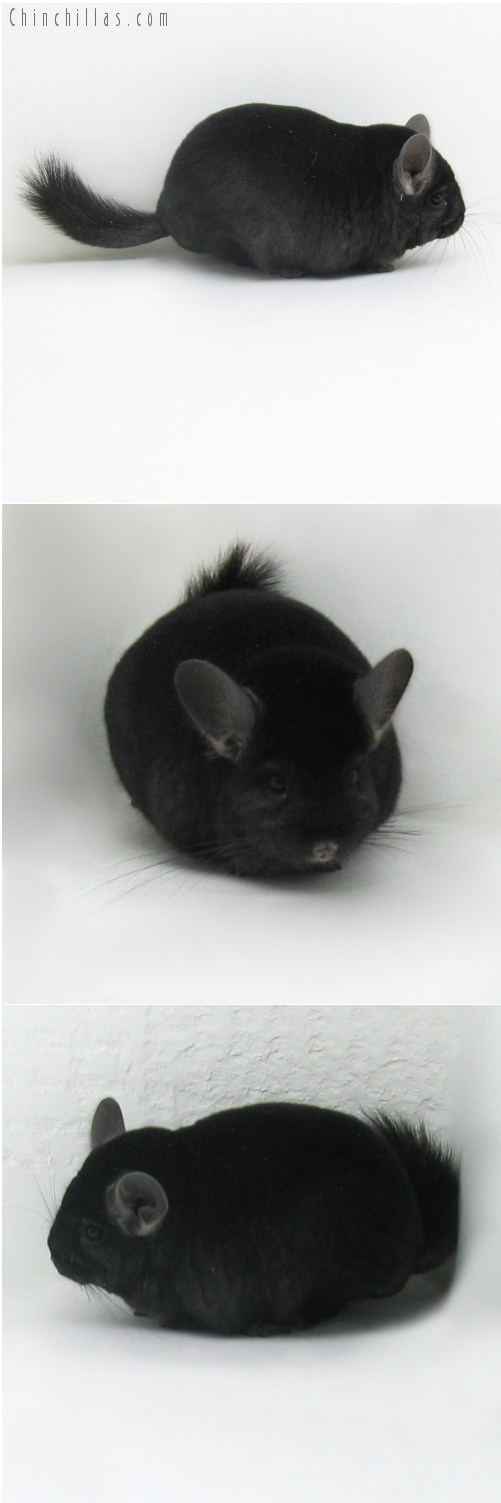 9109 Top Show Quality Ebony ( Violet Carrier ) Male Chinchilla