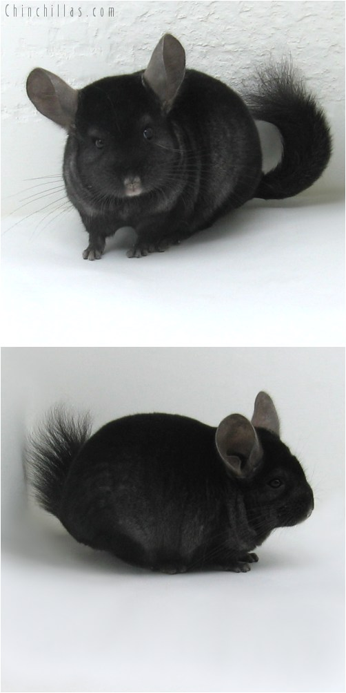 10006 Ebony ( Curly Carrier ) Male Chinchilla