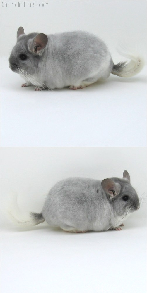 10042 Large Herd Improvement Quality TOV Violet & White Mosaic Male Chinchilla