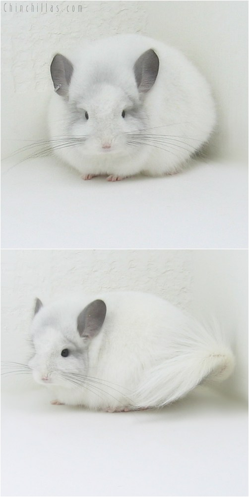 10043 Exceptional White Mosaic Royal Persian Angora Male Chinchilla