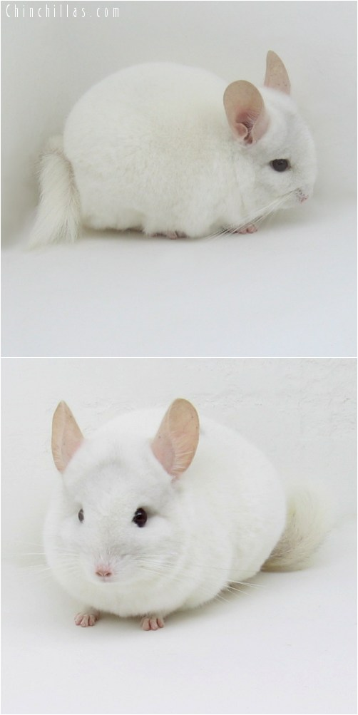 10038 Mini Pink White Male Chinchilla