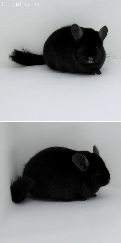 10049 Large Premium Production Quality Ebony Female Chinchilla
