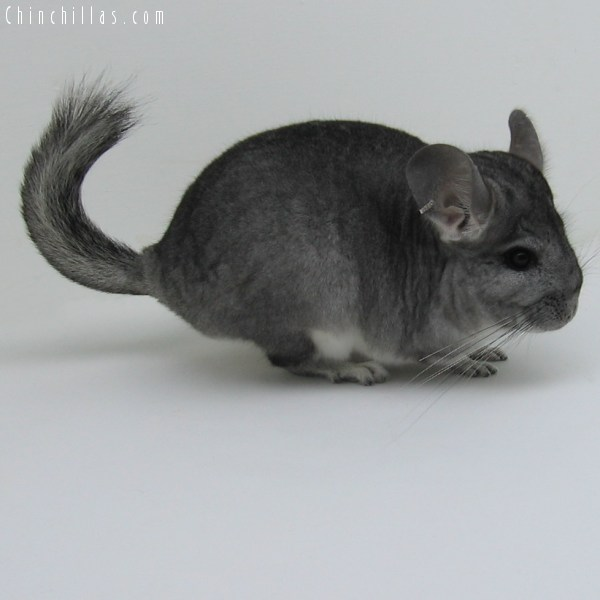 10047 Large Standard ( Royal Persian Angora Carrier ) Female Chinchilla