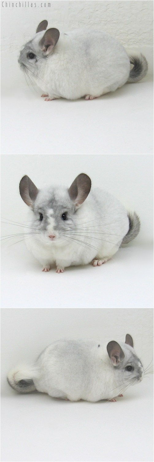 10053 Large Blocky Premium Production Quality White Mosaic Female Chinchilla