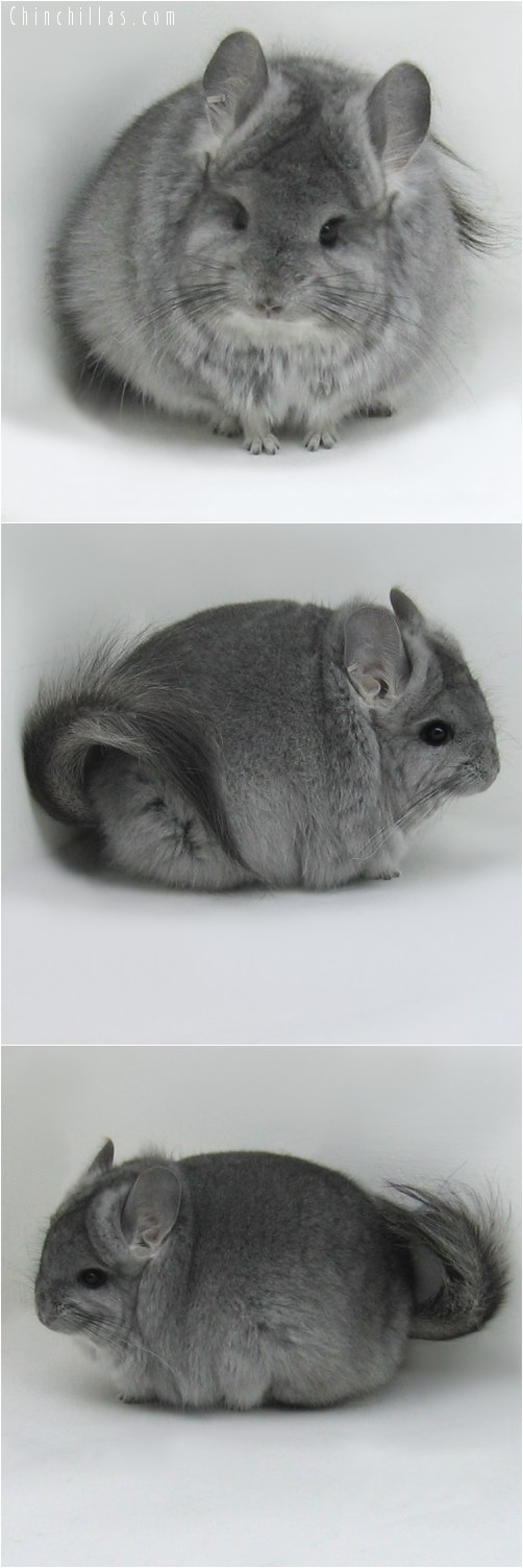 10009 Standard Royal Persian Angora Female Chinchilla