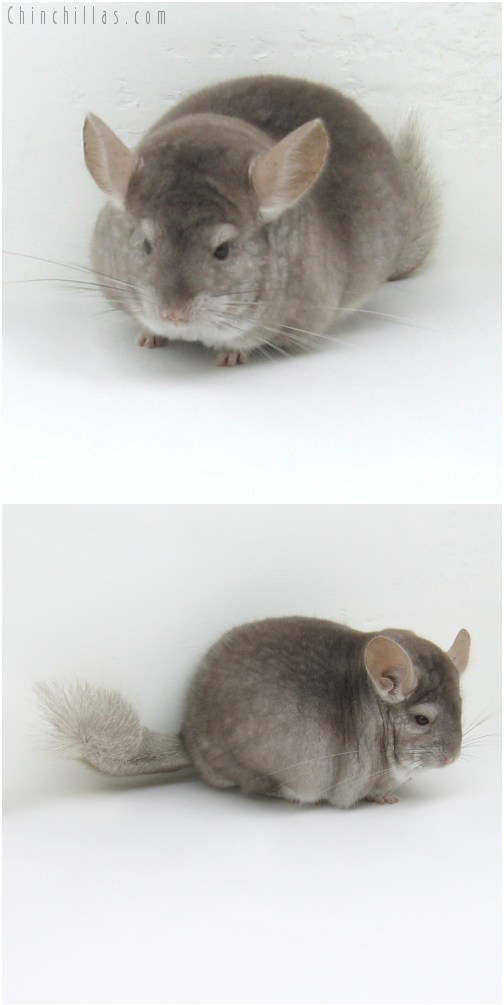 10063 Large Herd Improvement Quality Beige Male Chinchilla