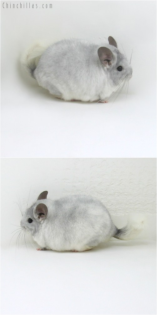 10069 Large Herd Improvement Quality TOV Violet & White Mosaic Male Chinchilla