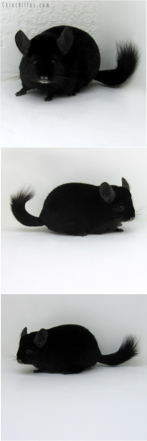 10077 Premium Production Quality Ebony Female Chinchilla