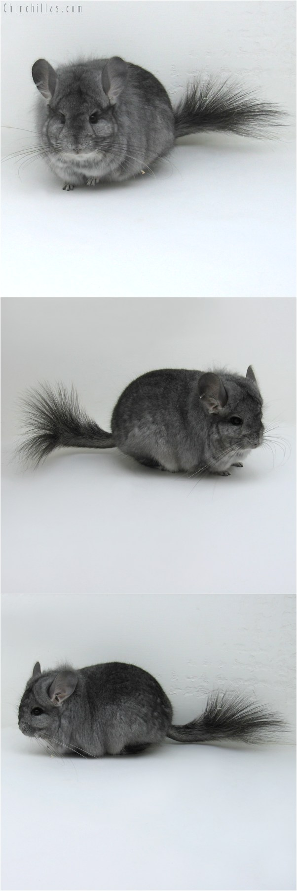 10074 Standard Royal Persian Angora Male Chinchilla