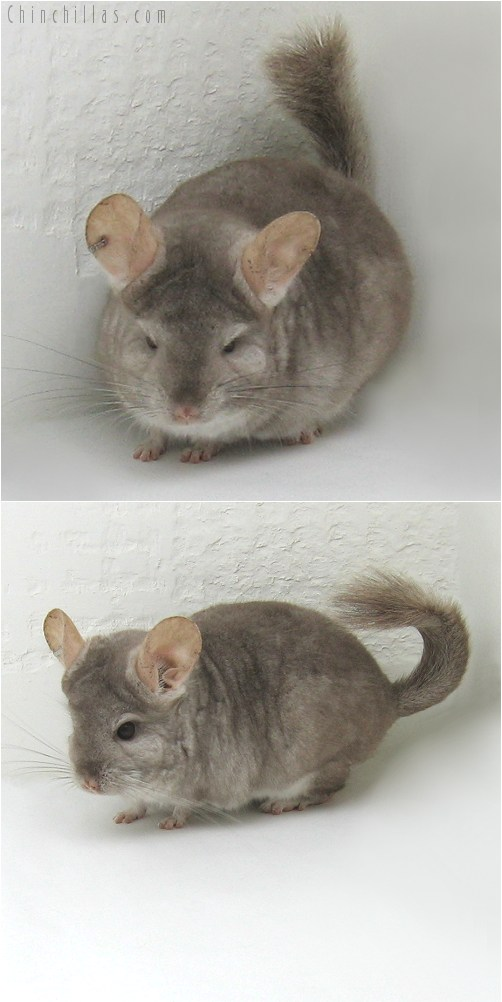 10078 Beige ( Royal Persian Angora Carrier ) Female Chinchilla