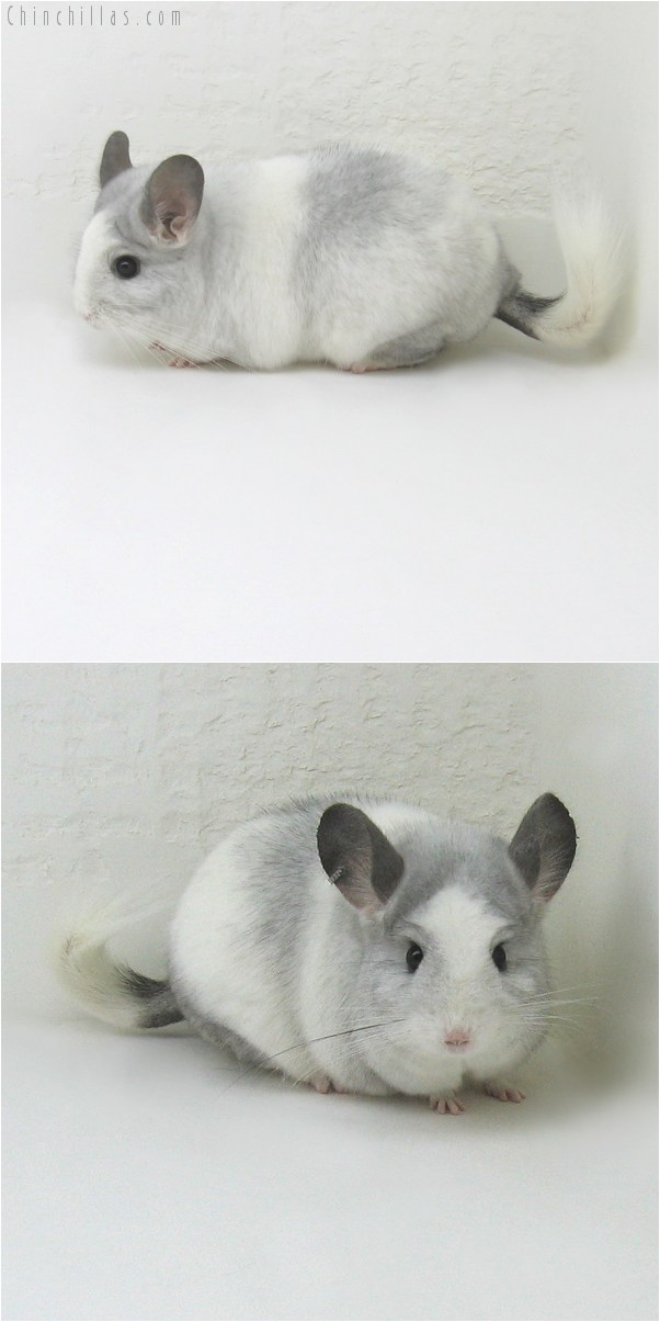 10079 Large White Mosaic ( Royal Persian Angora Carrier ) Female Chinchilla