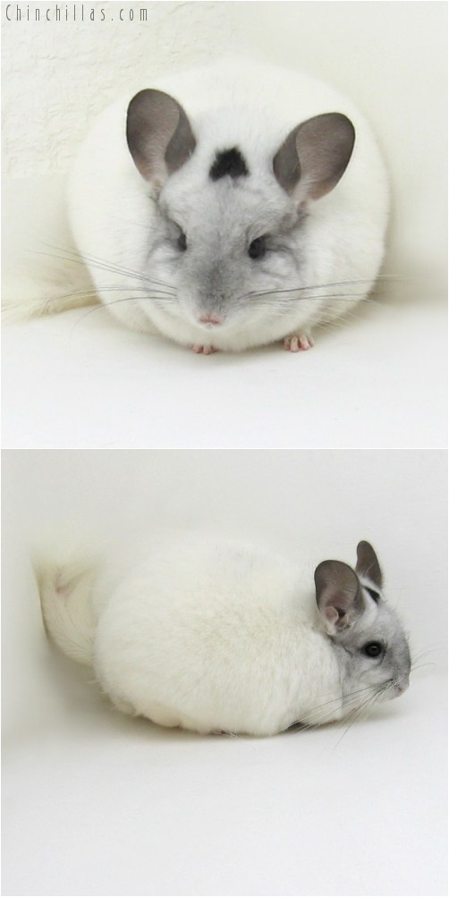 10082 Large Premium Production Quality White Mosaic Female Chinchilla