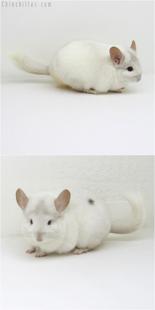 10085 Show Quality Pink White Female with Body Spot Chinchilla