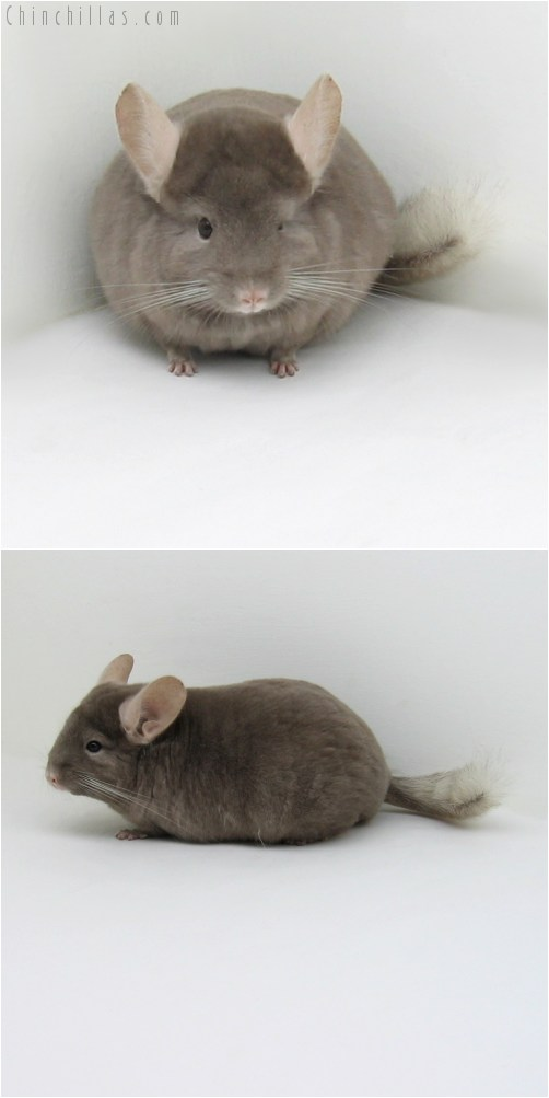 10091 Tan Female Chinchilla