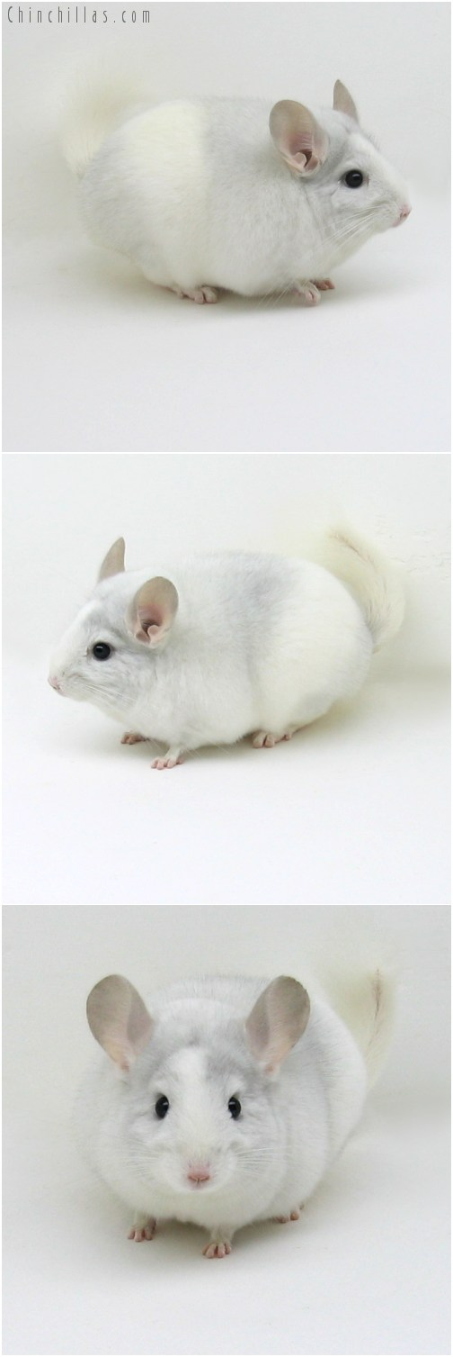 10097 Show Quality Sapphire and White Mosaic Female Chinchilla