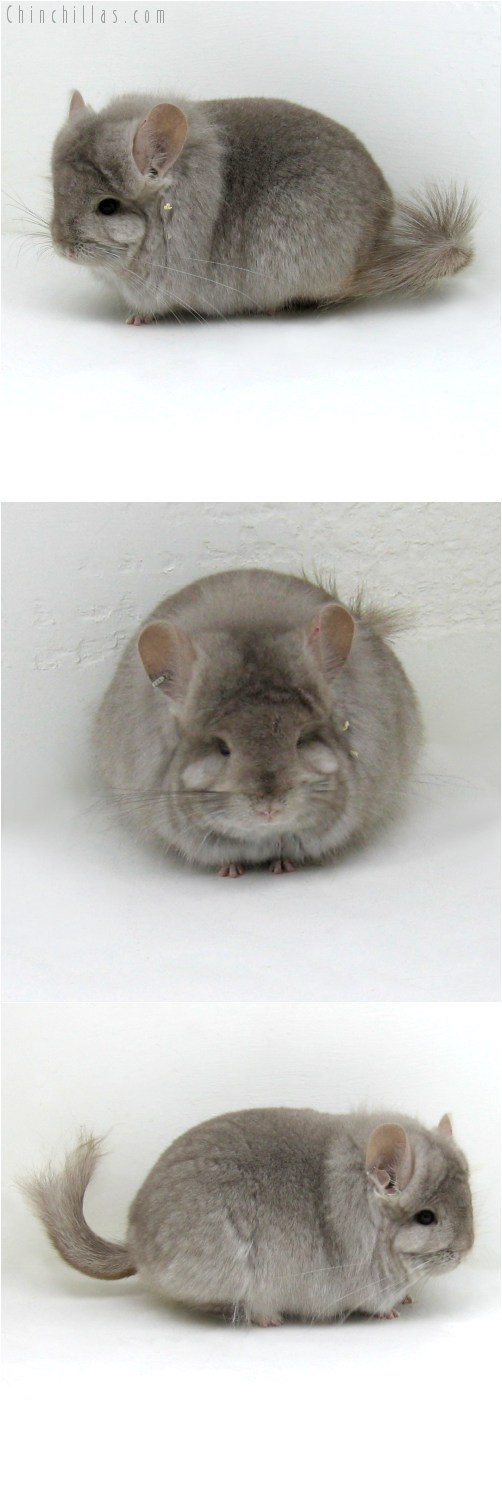 10108 Exceptional Beige Royal Persian Angora Female Chinchilla