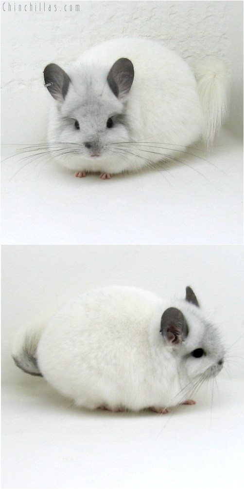 10099 Exceptional White Mosaic Royal Persian Angora Female Chinchilla
