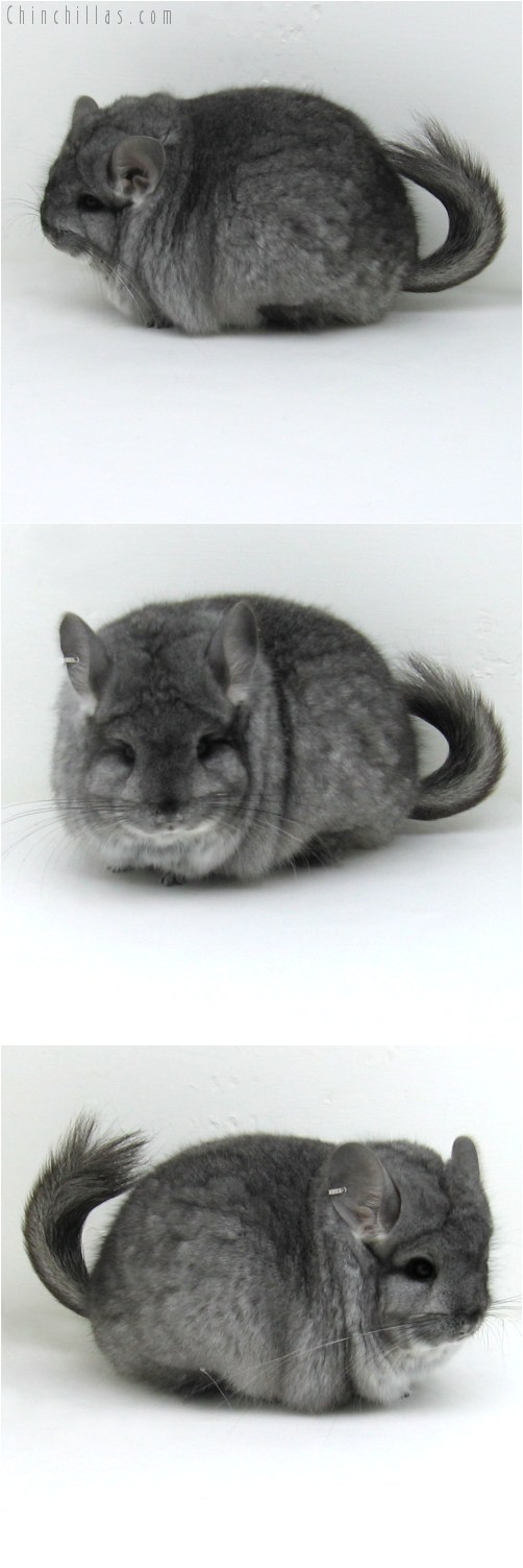 10110 Large Blocky Standard Royal Persian Angora Male Chinchilla