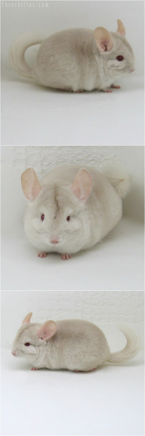 10100 Exceptionally Rare Goldbar Female Chinchilla