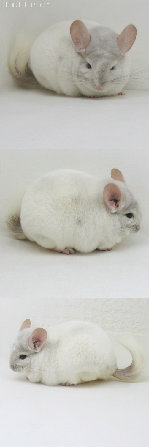 10101 Top Show Quality Beige and White Mosaic Male Chinchilla