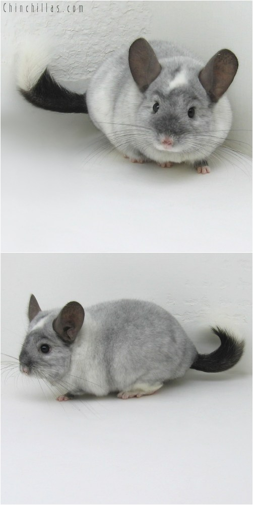 10104 Large Top Show Quality Ebony and White Mosaic Male Chinchilla