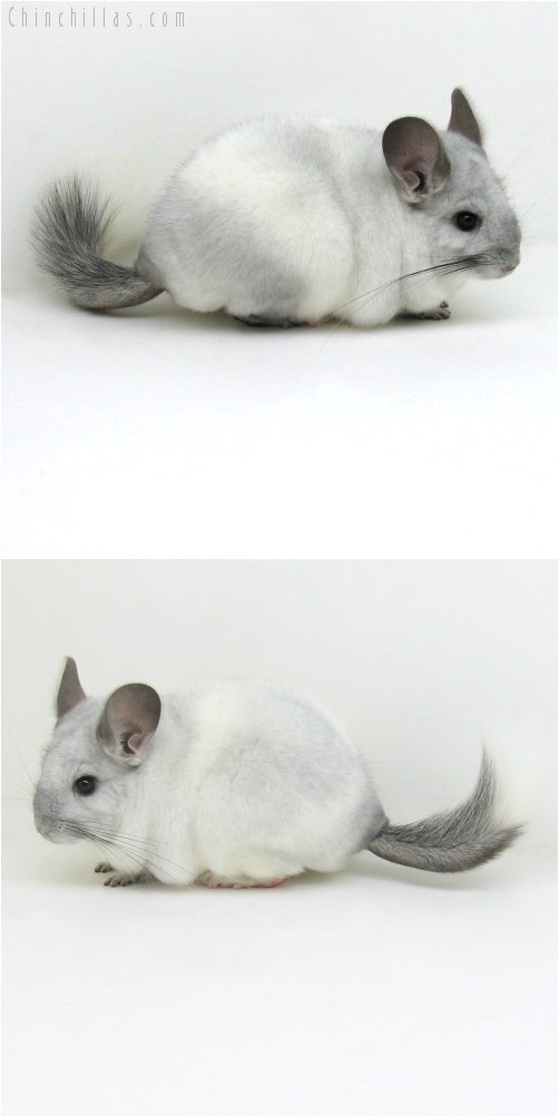 10107 Sapphire and White Mosaic Female Chinchilla