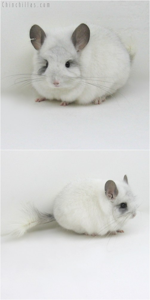 10111 Exceptional White Mosaic Royal Persian Angora Male Chinchilla
