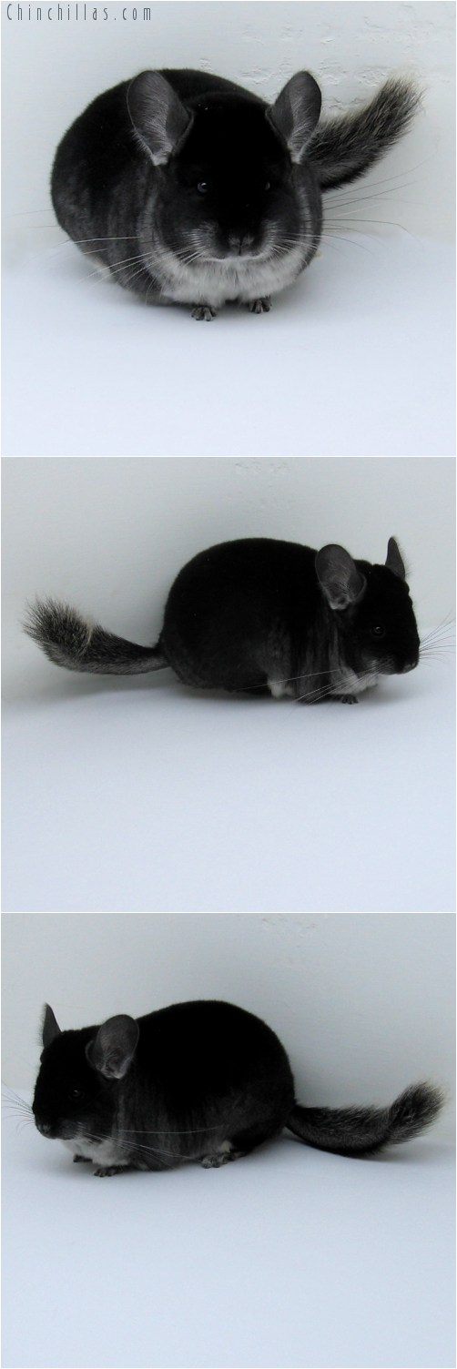 10113 Premium Production Quality Black Velvet Female Chinchilla